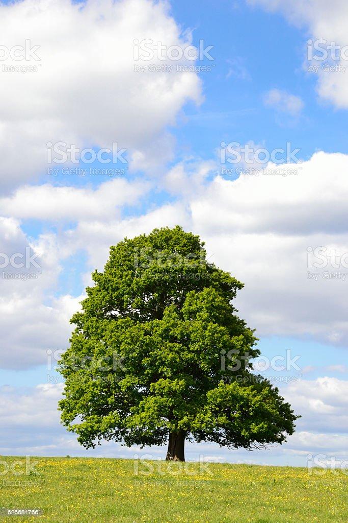 Single Tree in a Field of Buttercups stock photo