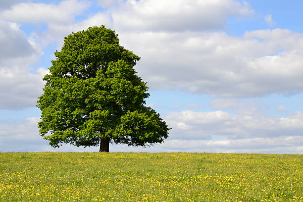 Single Tree in a Field of Buttercups stock photo