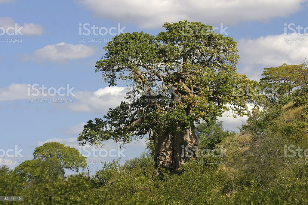 single tree in the african bush royalty-free stock photo