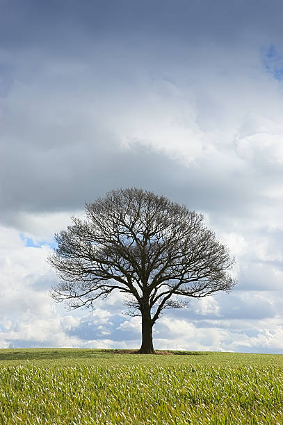 Single Tree in winter stock photo