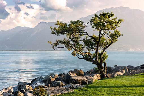 Single tree on shore in Montreux city, Switzerland