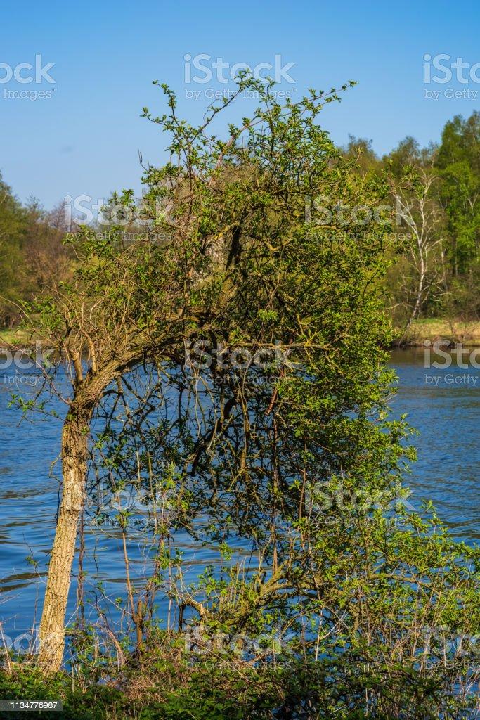 Einzelbaum am Ufer der Ruhr, Ruhr im Hintergrund – Foto