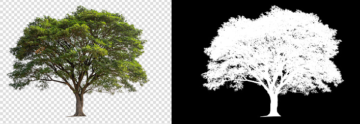 single tree on transparent picture background with clipping path and alpha channel