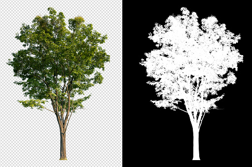 single tree on transparent picture with clipping path and alpha channel