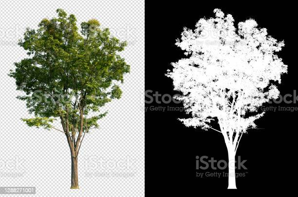 Photo of single tree on transparent picture with clipping path