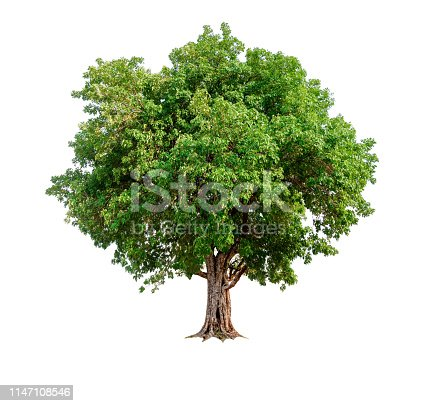 istock single tree with clipping path and alpha channel 1147108546