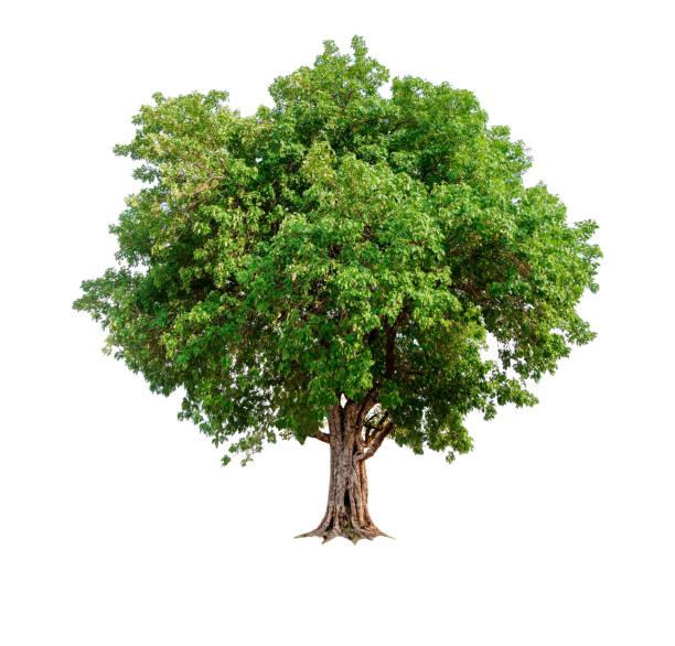 solo árbol con trazado de recorte y canal alfa - árbol fotografías e imágenes de stock