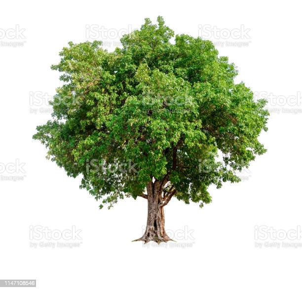 Photo of single tree with clipping path and alpha channel