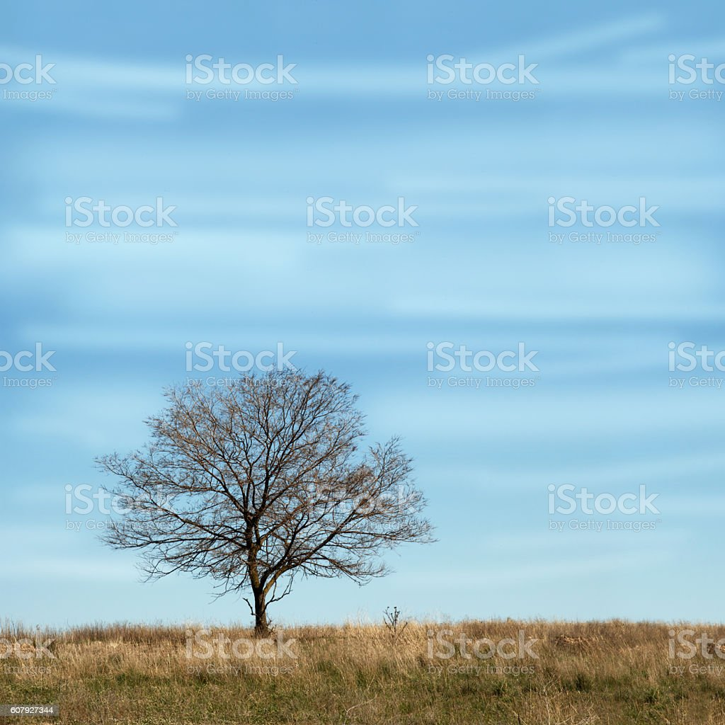 Single tree without leaves in dry field under blue sky. stock photo
