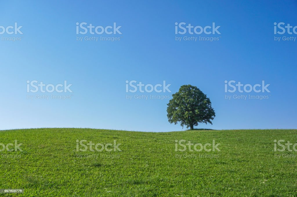 A single treeona meadow in front of blue sky. stock photo