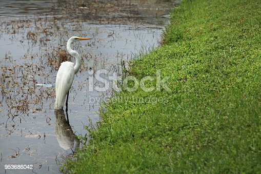 Outdoor shot of single tropical water bird Heron hunting in lake in Sarasota, Florida, USA