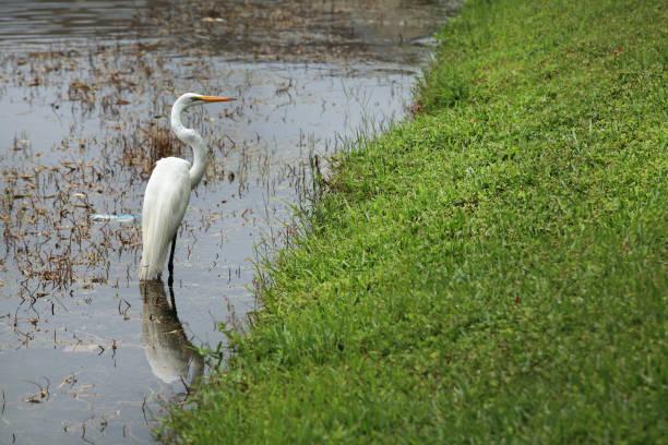 single tropical water bird heron hunting in lake in sarasota - mokradło zdjęcia i obrazy z banku zdjęć