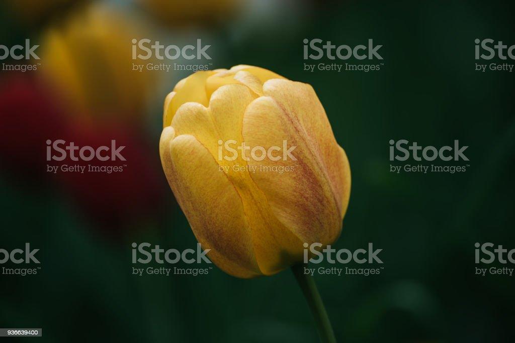 Single tulip flower stock photo