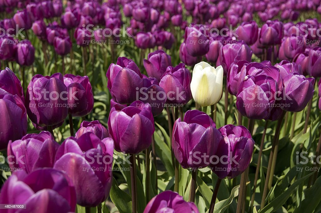 Single Tulip royalty-free stock photo