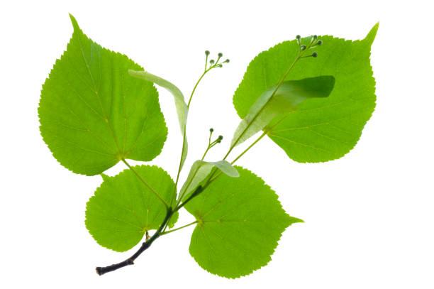 Einzelzweig mit Lindenblättern und blühenden Pollen isoliert über weißem Hintergrund – Foto