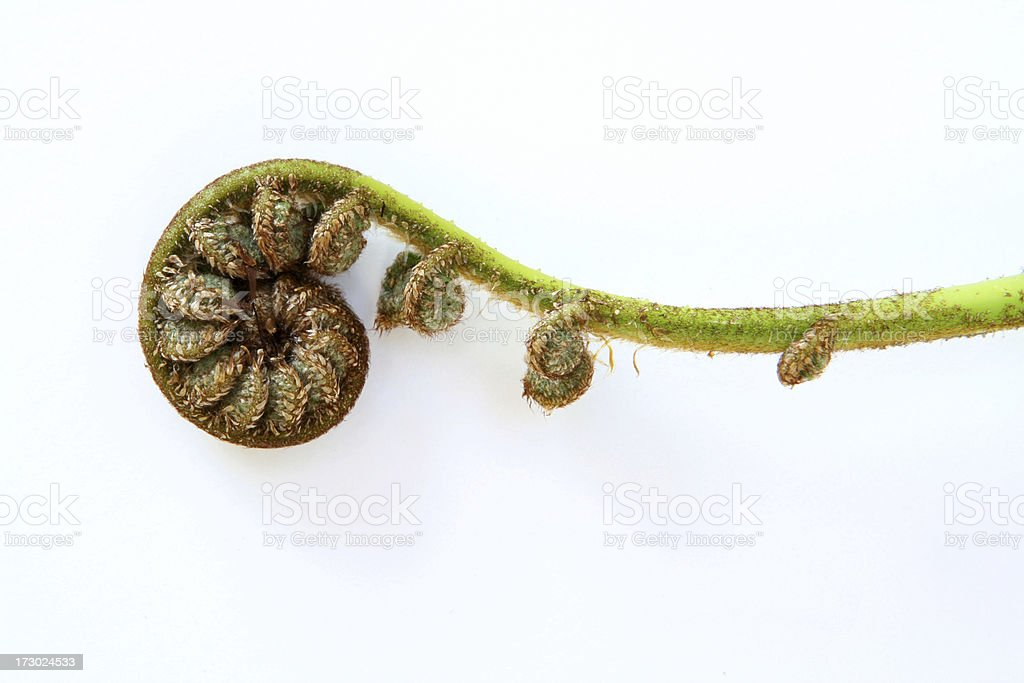 Single unfolding fern frond stock photo