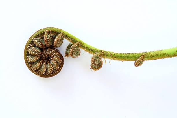 Single unfolding fern frond