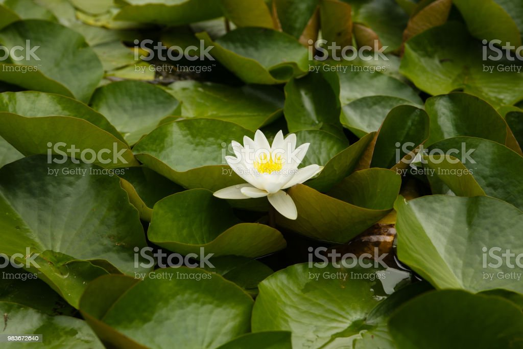 Single water lily in a pond stock photo