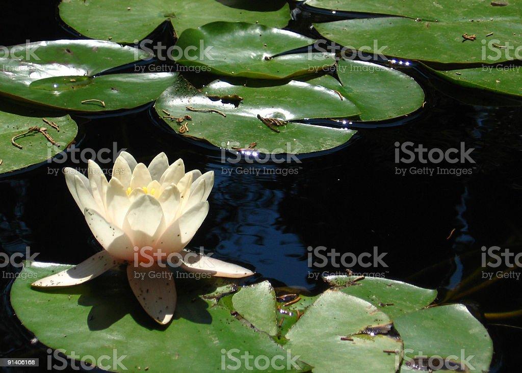 Single waterlily royalty-free stock photo
