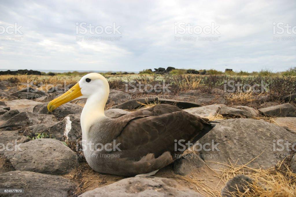 Un solo agitaban Albatros crías sobre su nido rocoso en las Islas Galápagos - foto de stock