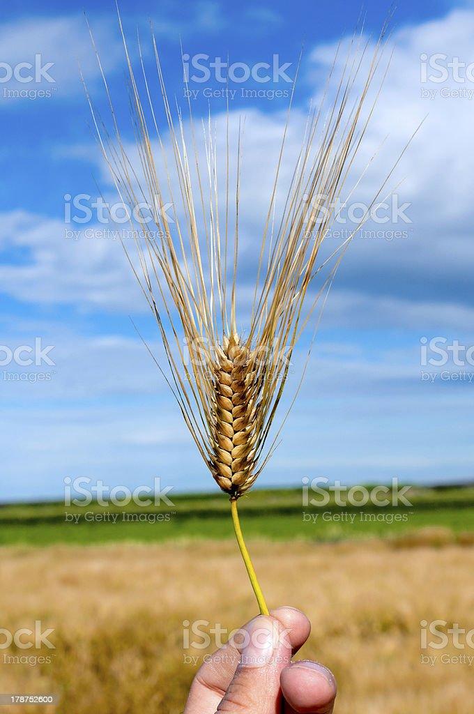 Single wheat royalty-free stock photo