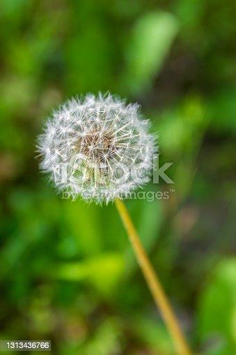 Single white air flower dandelion at blurred green background