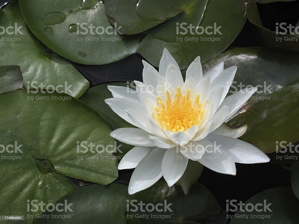 Single White and Yellow Waterlily or Lotus Flower royalty-free stock photo