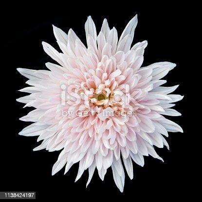 Single White chrysanthemum flower isolated on black