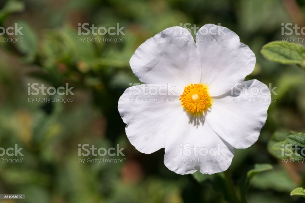 Single White Cistus Salvifolius - Rockrose stock photo