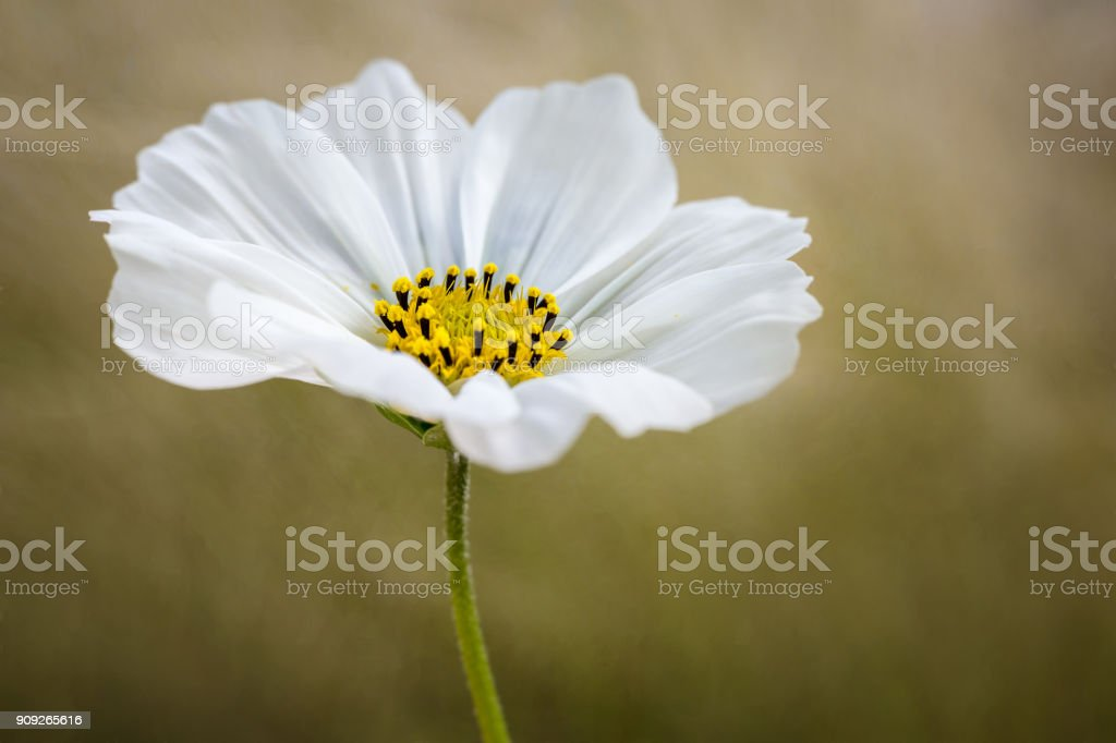 A single white Cosmos flower stock photo