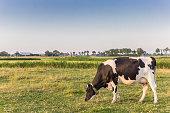 Single white cow in the landscape of Groningen, Netherlands