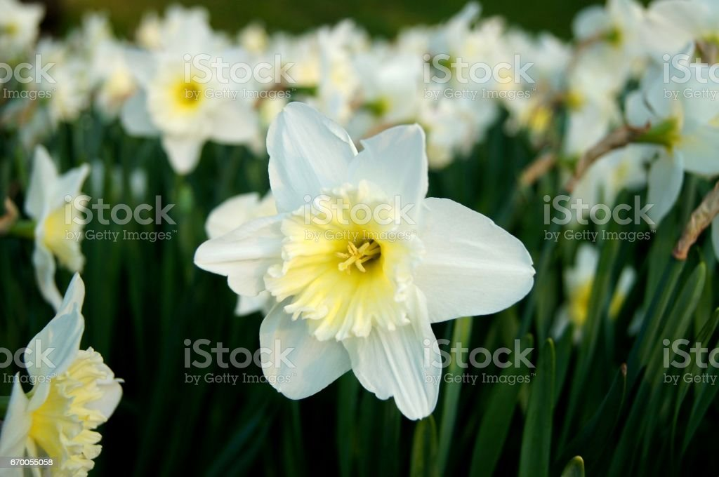 Single white daffodil flower isolated in a daffodil field stock single white daffodil flower isolated in a daffodil field royalty free stock photo mightylinksfo