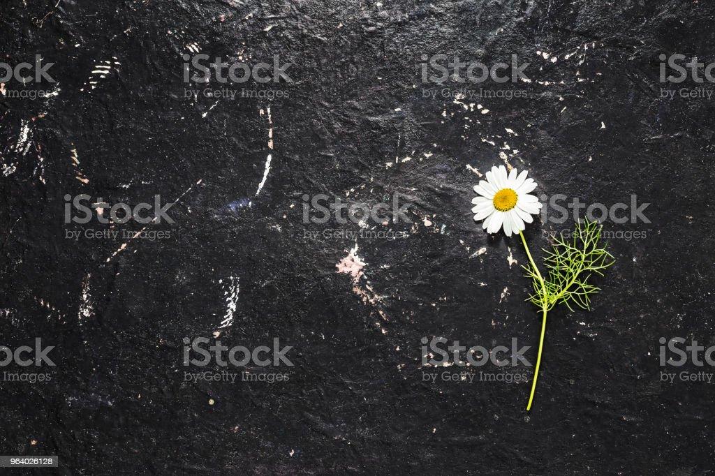 黒いテクスチャ背景に単一の白いデイジーの花 - カモミールのロイヤリティフリーストックフォト