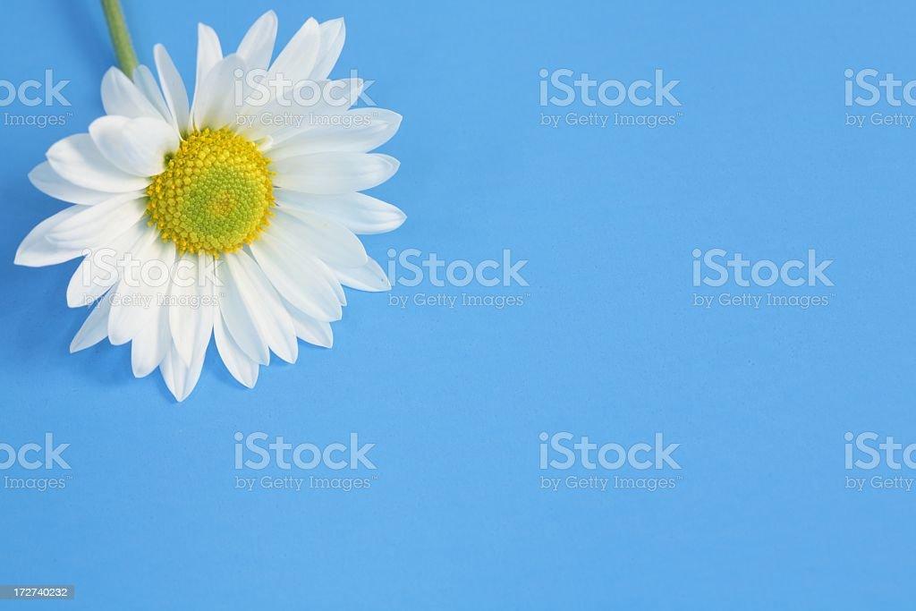 Single White Daisy on Blue royalty-free stock photo