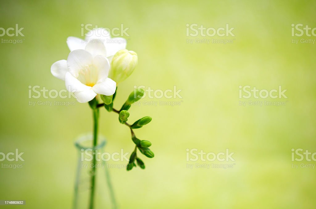 A single white flower in a vase in front of a green backdrop圖像檔