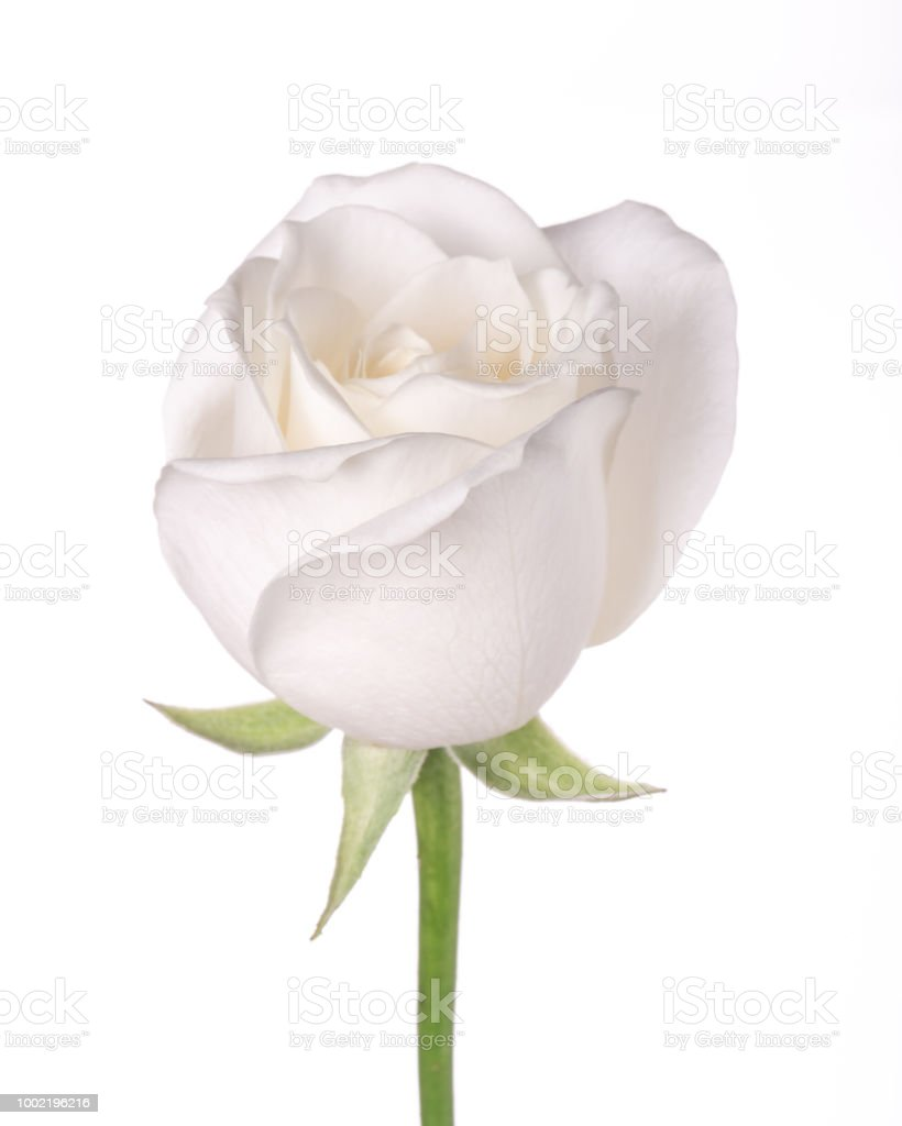 Single White Flower Rose Stock Photo More Pictures Of Beauty Istock
