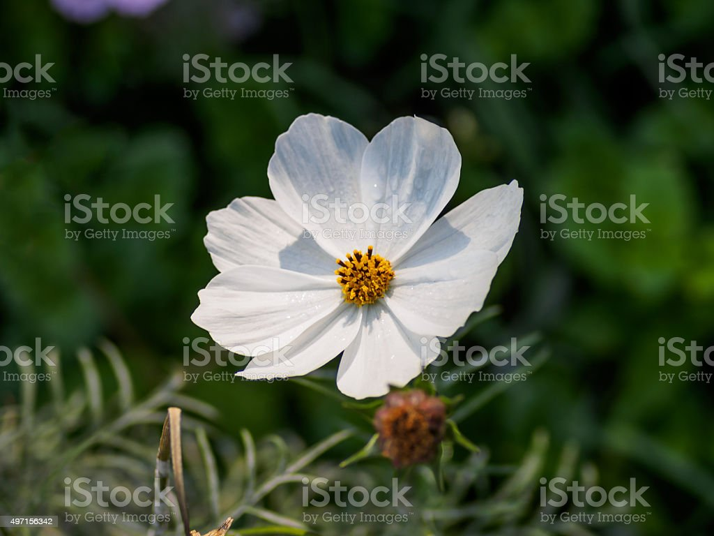 Single White Flower With Yellow Heart In Sunshine Marguerite D Stock