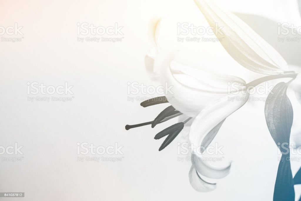 einzelne weiße Lilie Blume – Foto