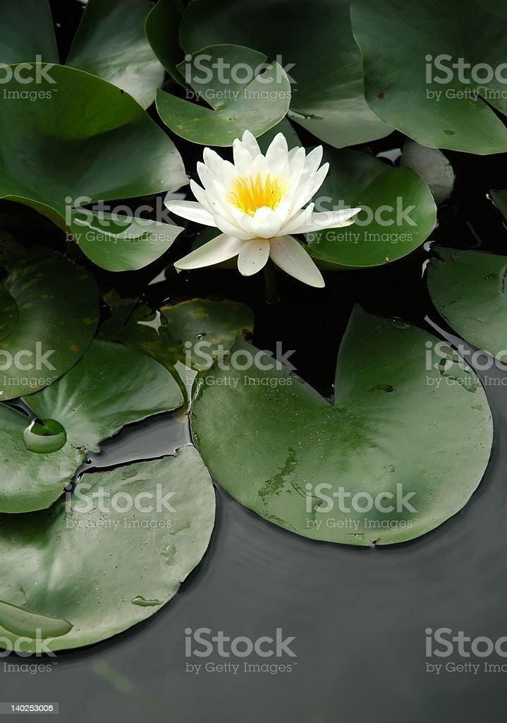 Single white lotus royalty-free stock photo