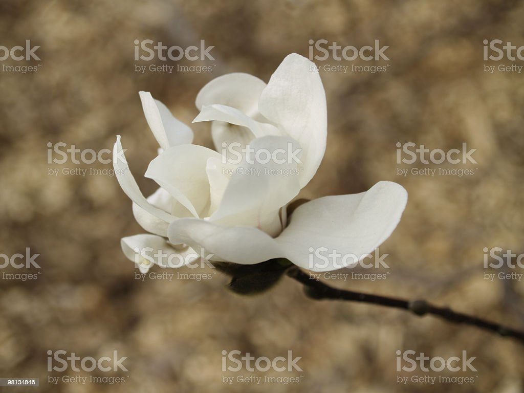 Single White Magnolia Flower royalty-free stock photo