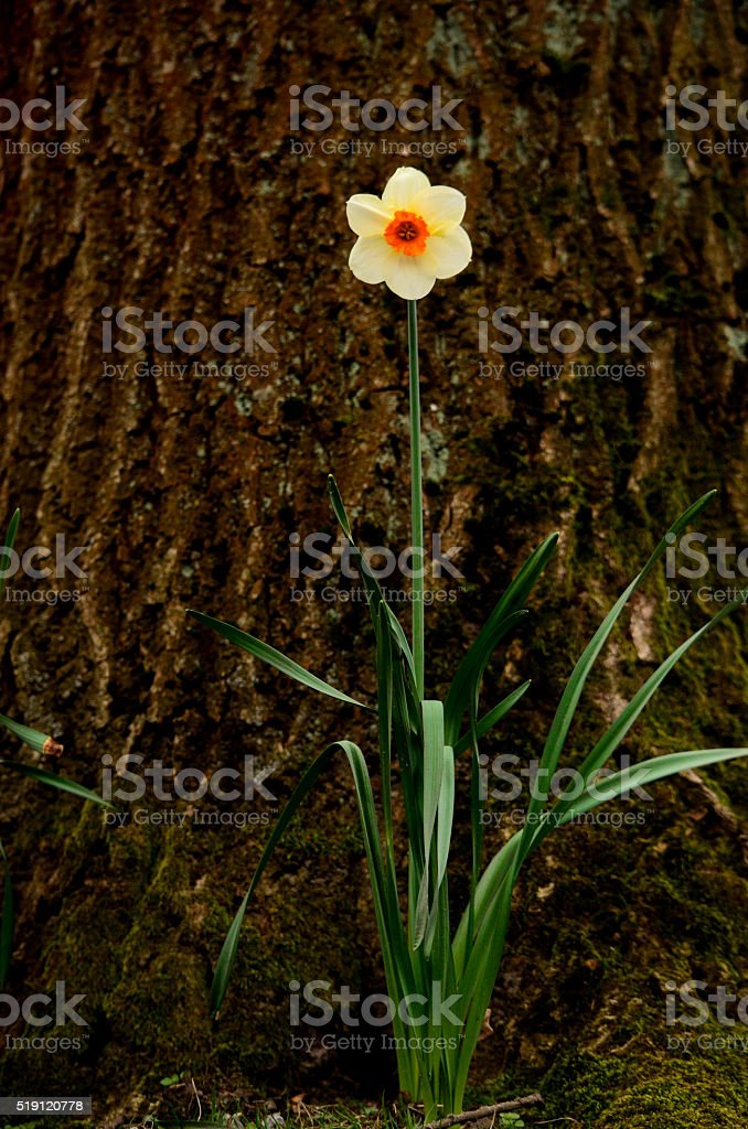 Single white organge daffodil beside tree stock photo