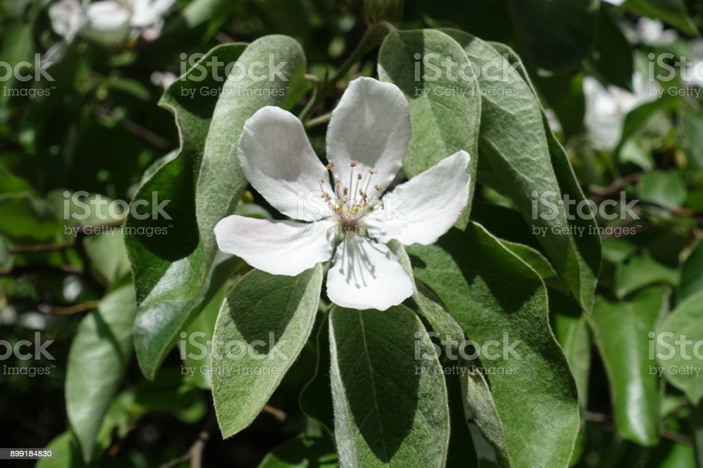 Single white quince flower among hairy leaves stock photo