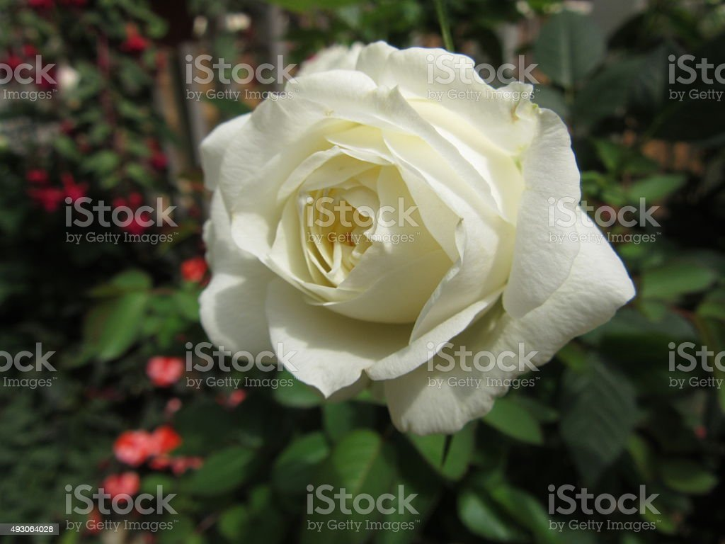 Single White Rose in Natural Setting stock photo