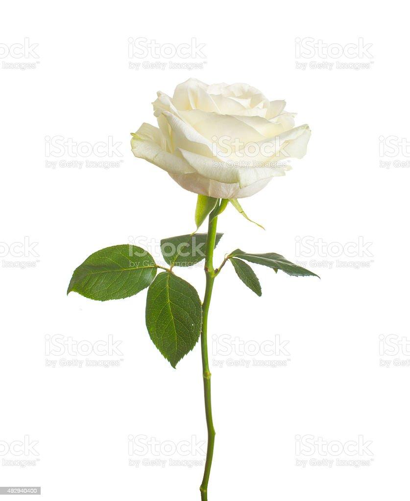 single white rose  isolated  background stock photo