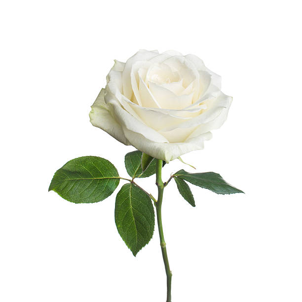 single white rose  isolated  background - enkele roos stockfoto's en -beelden