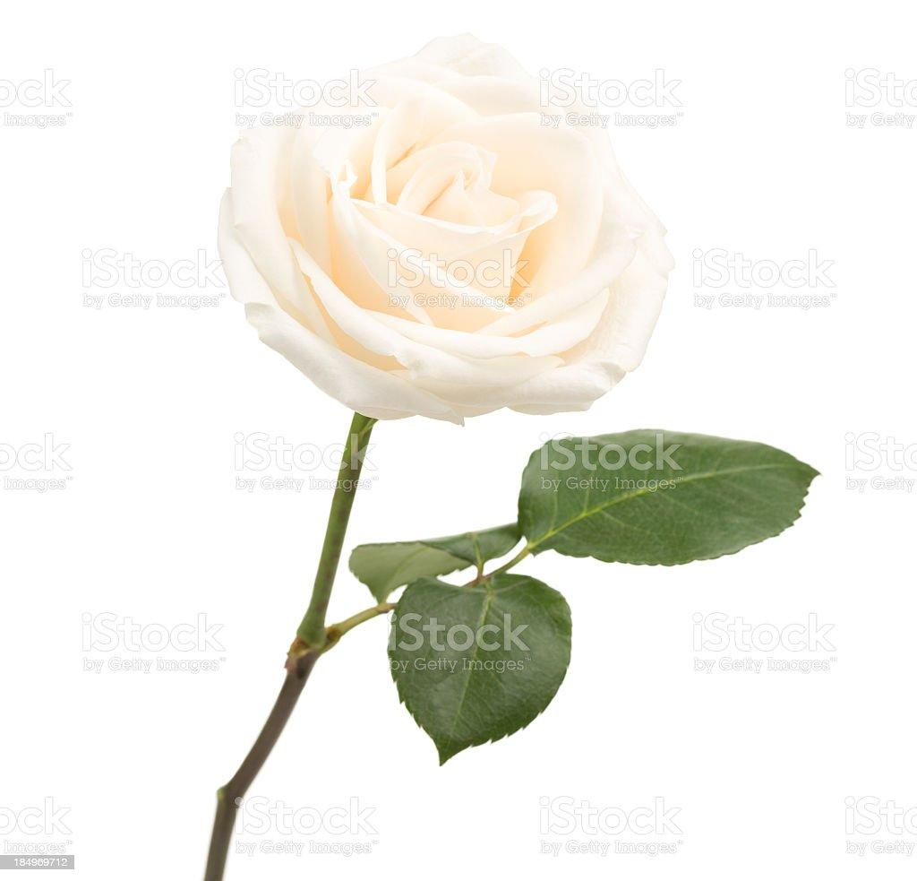 Single white rose on white background royalty-free stock photo