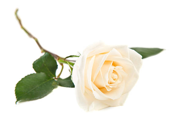 single white rose - enkele roos stockfoto's en -beelden