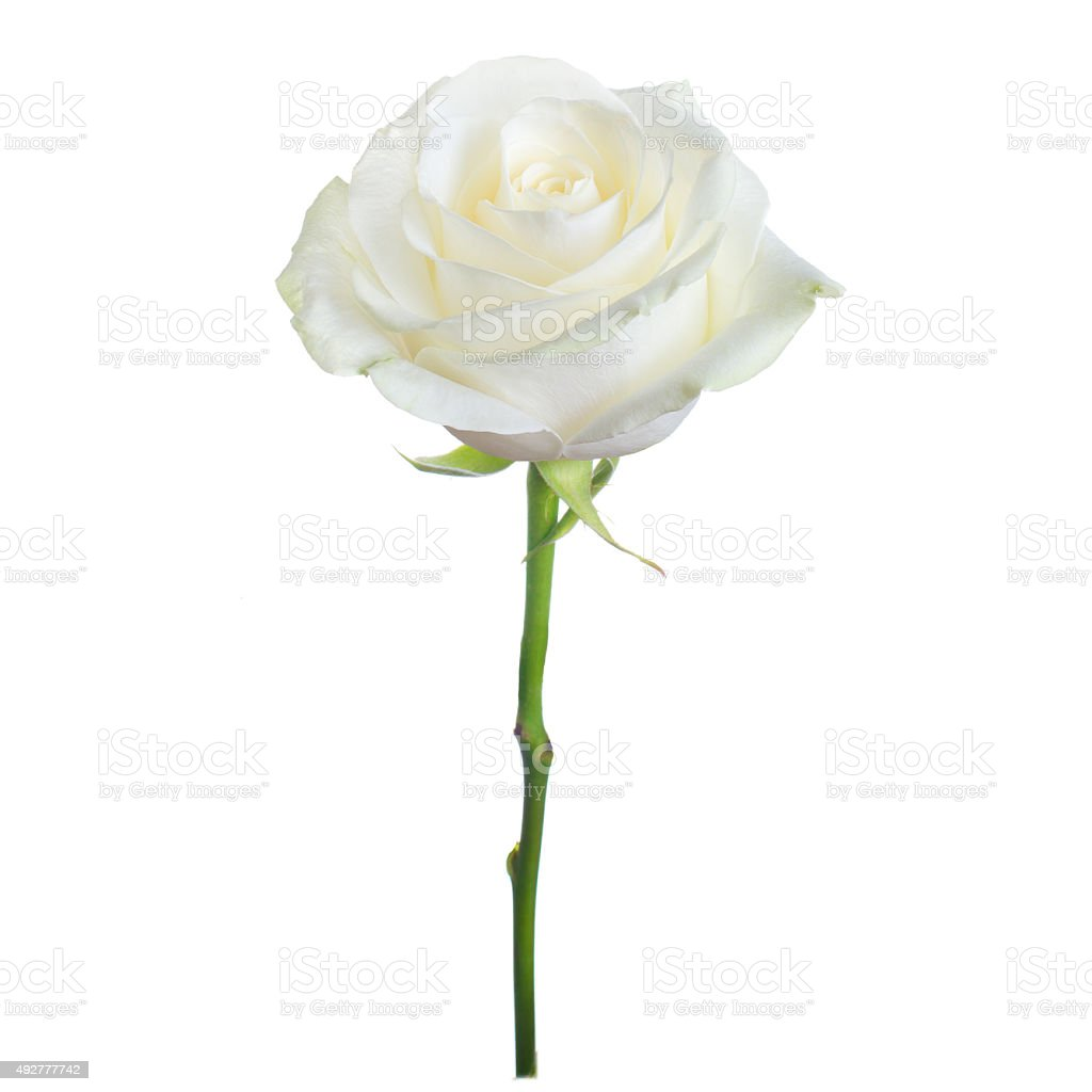 single white rose stock photo