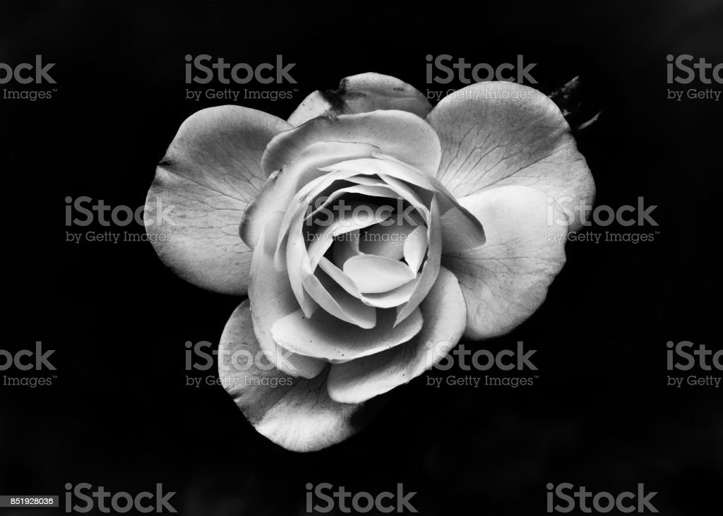 Single White Rose With Black Background stock photo