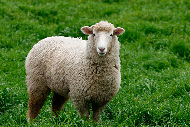 A single white sheep standing in green grass Sheep in full wool looking at camera in lush green pasture merino sheep stock pictures, royalty-free photos & images